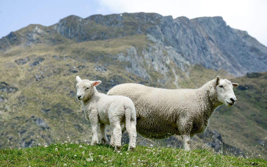 Bummer Lambs